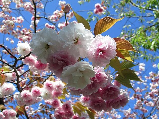 青い空と白とピンクの八重桜